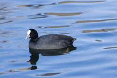 Eurasian coot Fulica atra swimming in pond with reflection close-up portrait, selective focus, shallow DOF Stock Photos