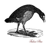 The Eurasian coot Fulica atra, vintage engraving Royalty Free Stock Photography