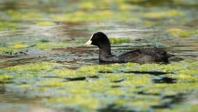 Eurasian Coot, Coot, Fulica atra. Water Birds - Eurasian Coot, Coot, Fulica atra Stock Photography