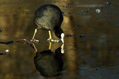 Eurasian Coot, Coot, Fulica atra. Water Birds - Eurasian Coot, Coot, Fulica atra Stock Image