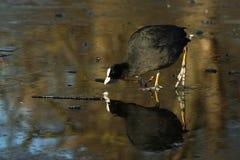 Eurasian Coot, Coot, Fulica atra. Water Birds - Eurasian Coot, Coot, Fulica atra Royalty Free Stock Photography