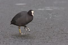 Eurasian coot on ice Stock Photography