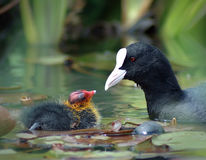 Eurasian coot with its baby Stock Photos