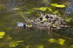 Eurasian coot with juveniles Stock Images