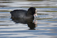 Eurasian Coot. Coot on the lake fulica atra Royalty Free Stock Photography