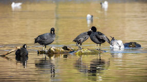 Eurasian Coot. Coot on the lake fulica atra royalty free stock images