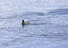 Eurasian coot on the lake Stock Photo