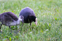 Eurasian coot on a Lake stock photos