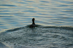 Eurasian coot on a Lake Royalty Free Stock Images