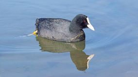 Eurasian coot in a lake Stock Images