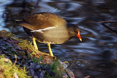 Eurasian Coot on lakeside Royalty Free Stock Photography