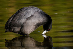 Eurasian coot looking at reflection Stock Image