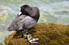 Eurasian coot on moss in France Stock Photography
