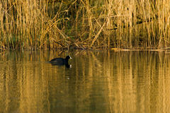 Eurasian coot in nature Royalty Free Stock Photos