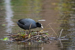 Eurasian coot on nest Royalty Free Stock Photos