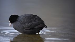 Eurasian coot stock video
