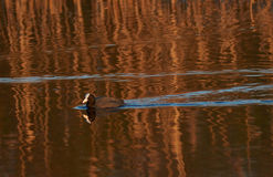 Eurasian coot reflections Royalty Free Stock Images