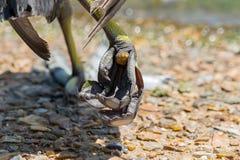 Eurasian Coot`s Fulica atra leg stock images