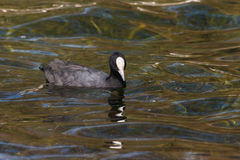 Eurasian Coot searching  for food Stock Photography