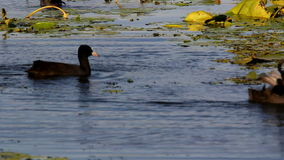 Eurasian coot stock video footage