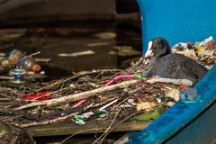 Eurasian Coot Sits On A Nest Made Of Twigs And Trash, In A Partially Sunk Boat In An Amsterdam Canal Royalty Free Stock Photos