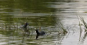 Eurasian coot in small pond on green reeds stock video footage