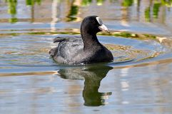 Eurasian Coot swimming royalty free stock images