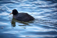 Eurasian coot swimming. Eurasian coot fulica atra swimming on a cold river Royalty Free Stock Photos
