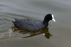 Eurasian Coot swimming Stock Photo