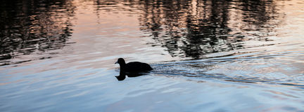 Eurasian Coot Swimming Through Pink and Blue Reflections at Suns Royalty Free Stock Images