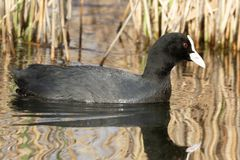 Eurasian Coot swimming in pond. stock images