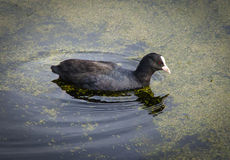 Eurasian Coot. Swimming in water, Fulica atra royalty free stock photos