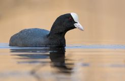 Eurasian Coot swims with inquisitive glance in autumn neat colored waters of clean pond stock image