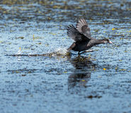 Eurasian coot taking off Royalty Free Stock Photo