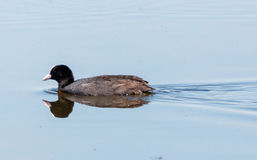 Eurasian coot on water Stock Image