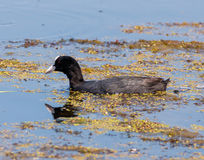Eurasian coot on water Stock Photography