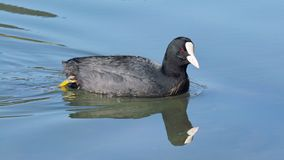 Eurasian coot in water Royalty Free Stock Photography