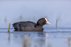 Eurasian coot Waterfowl swimming in blue water and looking in ca Royalty Free Stock Photography