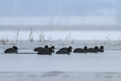 Eurasian coot  in winter Royalty Free Stock Photo