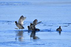 Eurasian coot in winter on ice Royalty Free Stock Photography