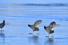 Eurasian coot in winter on ice Stock Images