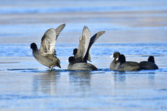Eurasian coot Stock Photos
