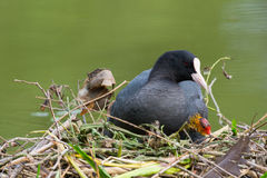 Eurasian coot with young coot Stock Photos
