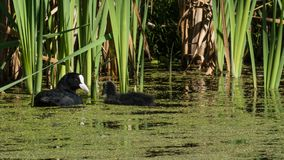 Eurasian Coot with young facing mom in reedlands stock photography