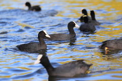 Eurasian coots Royalty Free Stock Photos