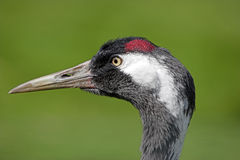 Eurasian crane Stock Photo