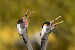 Eurasian crane Royalty Free Stock Photos