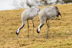 Eurasian crane Royalty Free Stock Photography