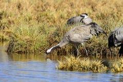 Eurasian crane Stock Photo