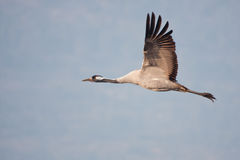 Eurasian crane in flight Royalty Free Stock Photography